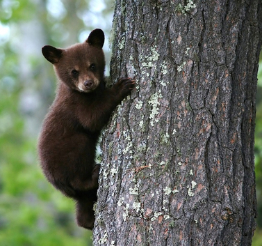 Black Bear Theme Wildlife Gift Ideas: Tips, trivia, and a whole lot of claws.