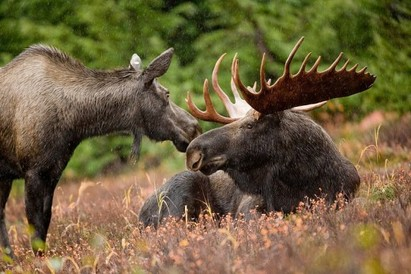 Moose Theme Wildlife Gift Ideas: The Gift Ideas List Site